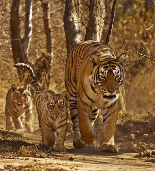Wild Bengal Tiger Family in Kanha National Park, India