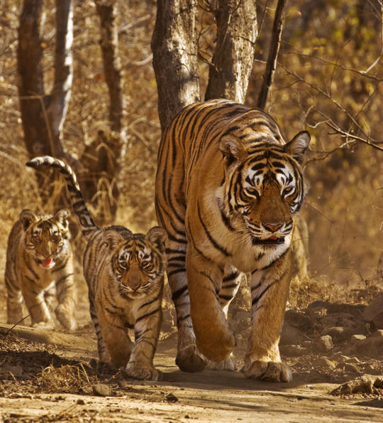Wild Bengal Tiger Family, Kanha National Park, India