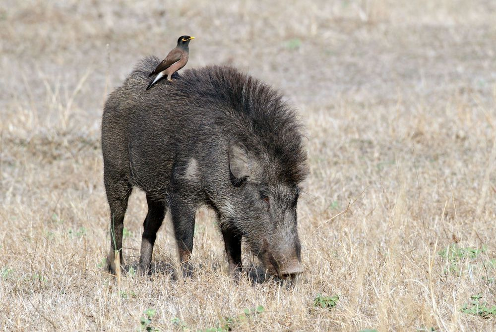 Wild Boar and Common Myna, Bandhavgarh National Park, India