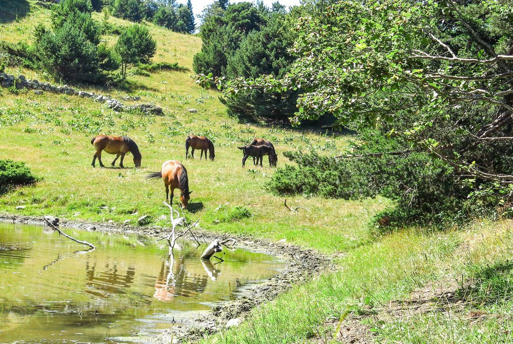 Wild horses in the Aran Valley