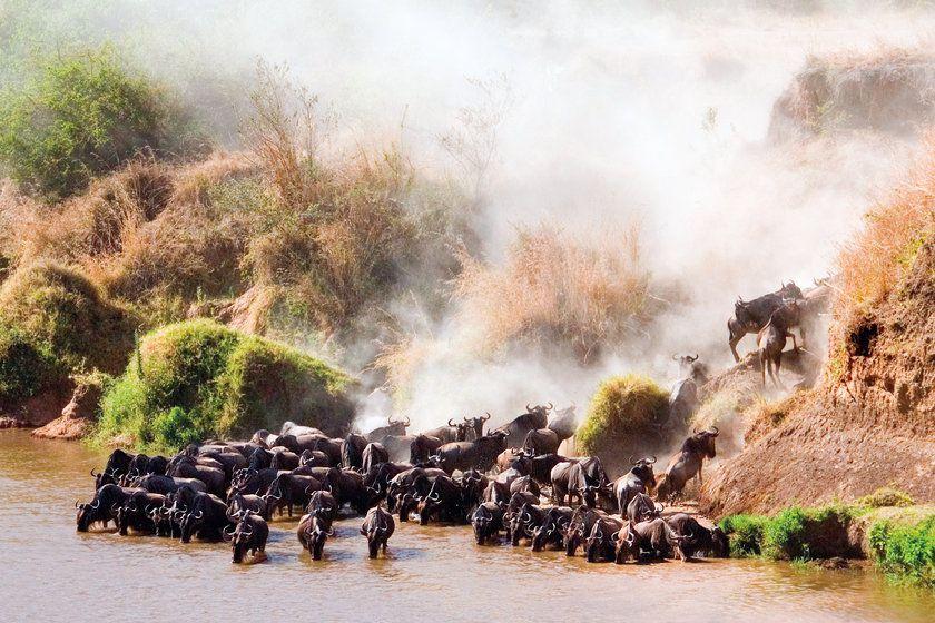 Wildebeest, Mara River, Kenya