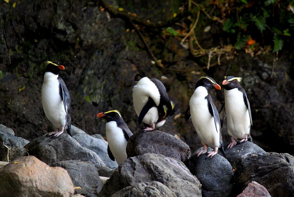 Wilderness Lodge Tawaki penguin group, New Zealand