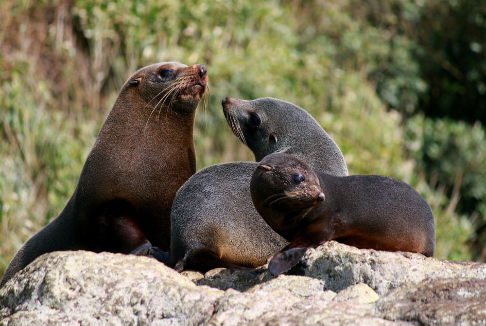 Wilderness Lodge fur seals, New Zealand