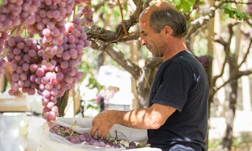 Wine Harvest, Agrigento