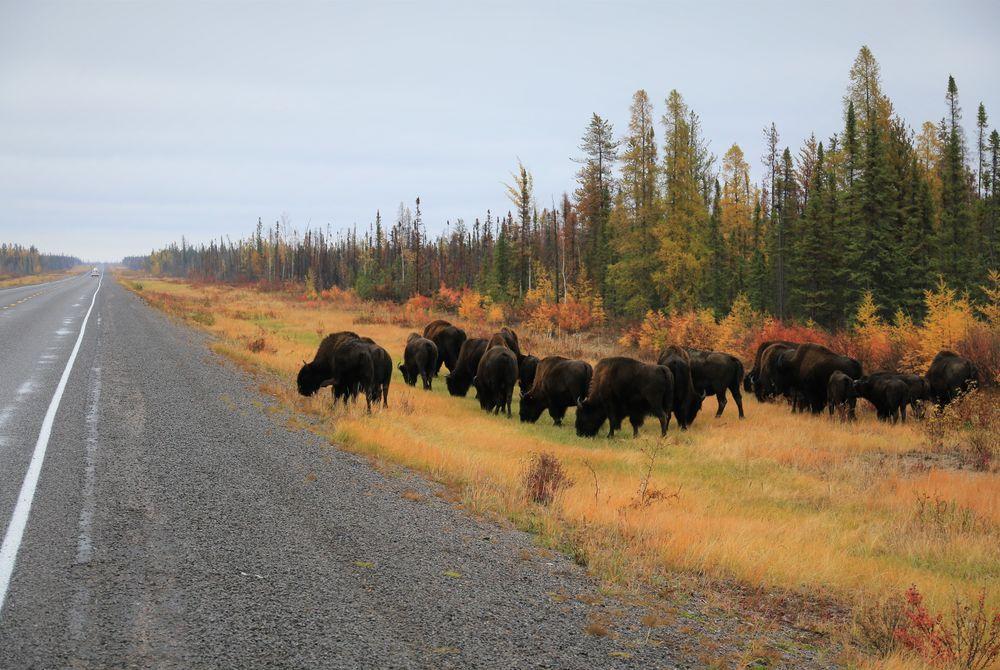Wood Buffalo herd browsing along the Yellowknife Highway