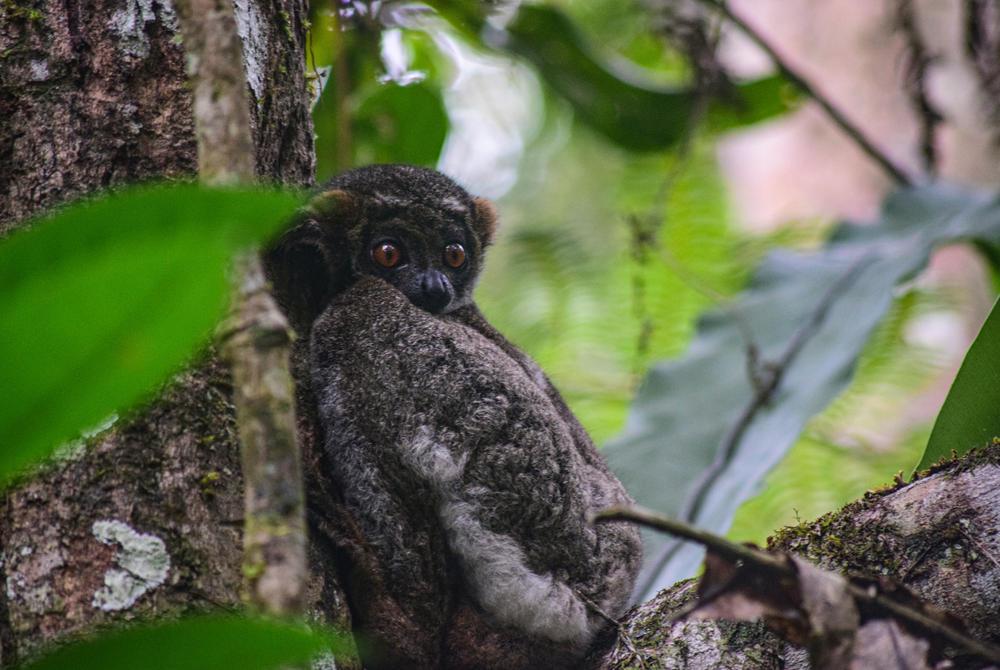 Woolly Lemur, Ranomafana, Norire