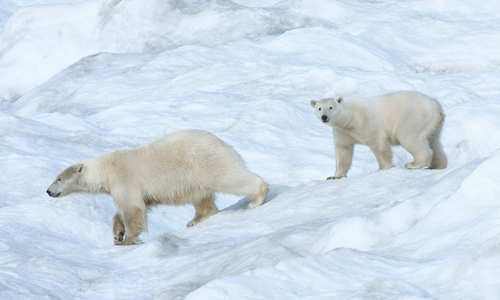 Wrangel Island, Russian Arctic