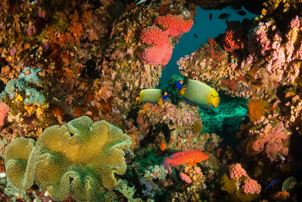 Yellow mask angelfish and coral, West Papua