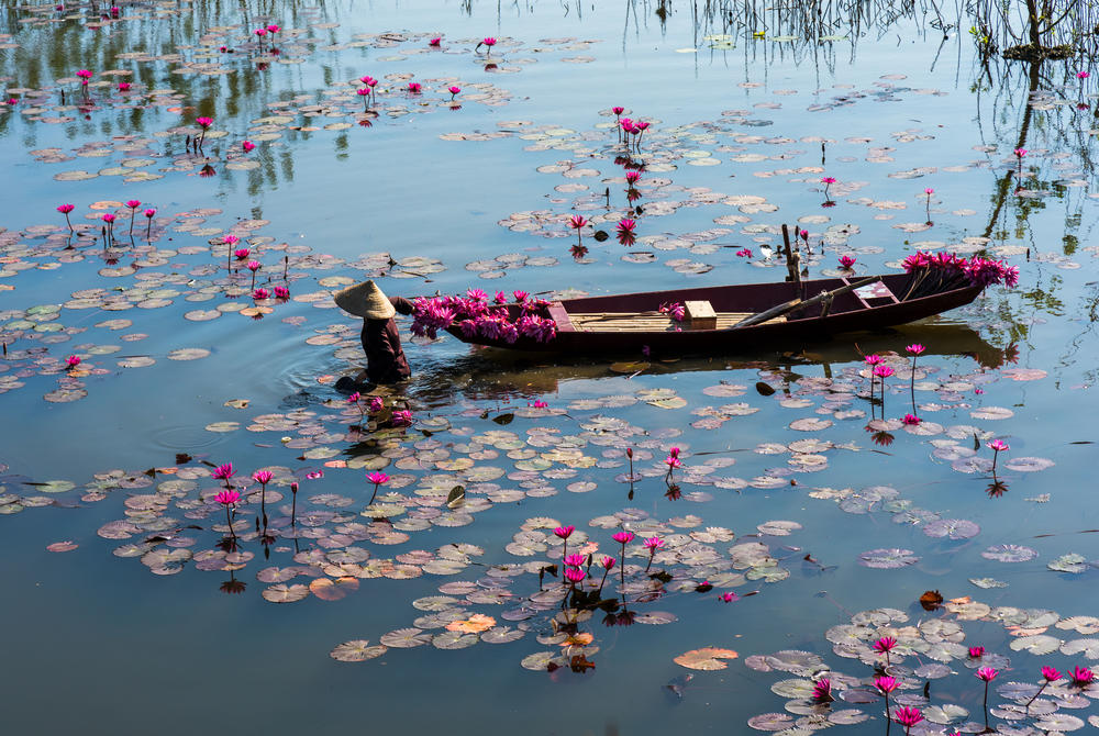 Boat floats through the lilies in the Yen Stream, Hanoi