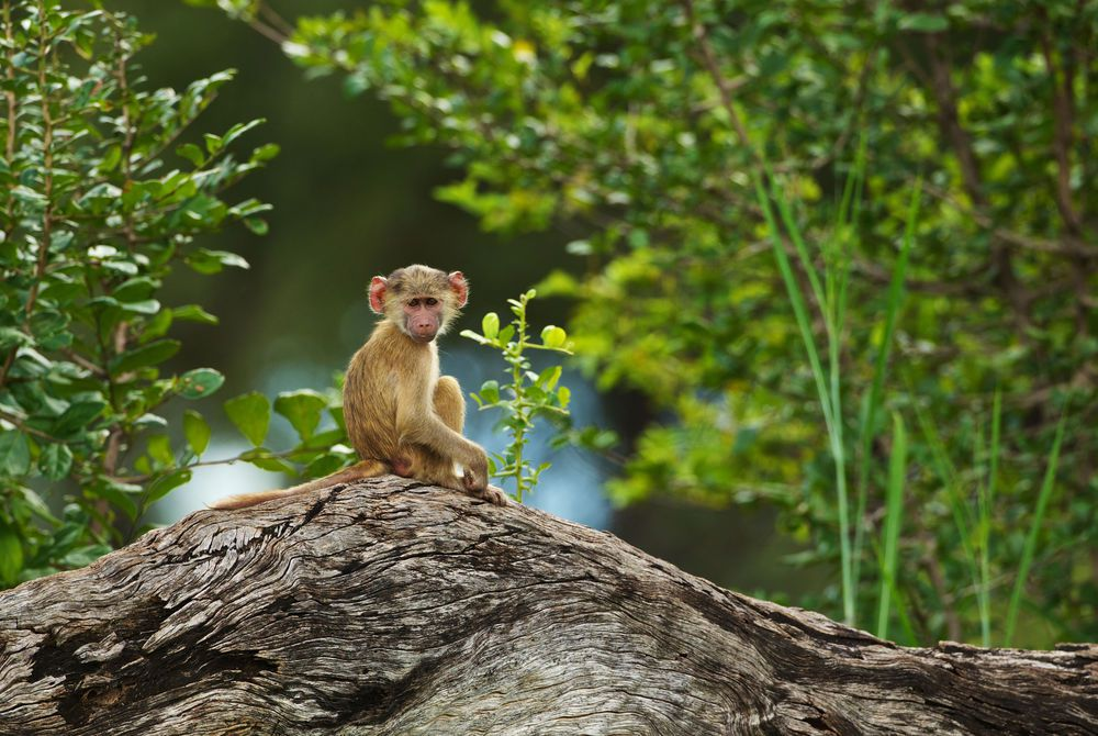 Young baboon sitting on a fallen tree trunk, South Luangwa, Zambia, Africa