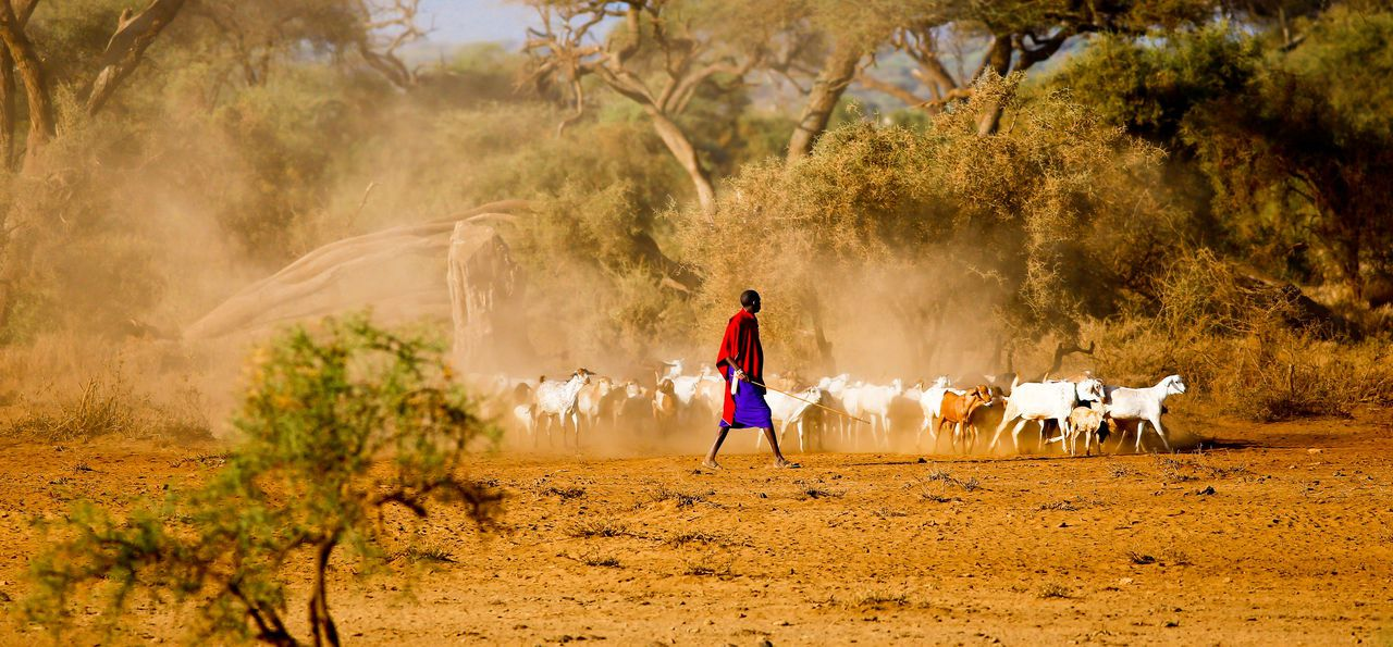 A shepherd with a herd of goats walks in Amboseli National Park