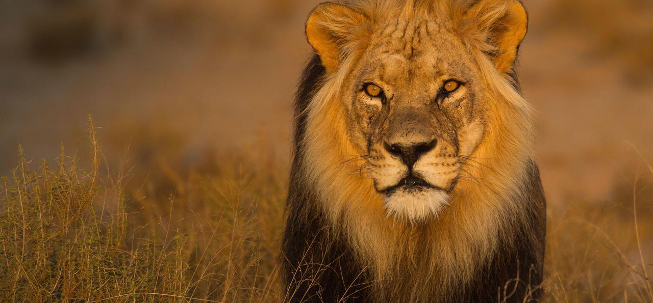 Kalahari lion male in the afternoon sun