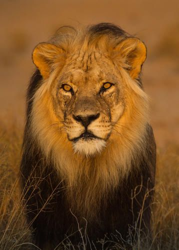 Kalahari lion male in the afternoon sun