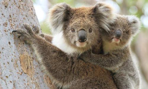 Koalas, Raymond Island, Victoria, Australia