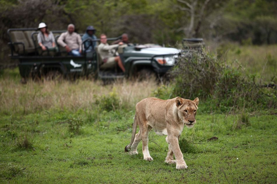 Lion at andBeyondPhinda Private Game Reserve