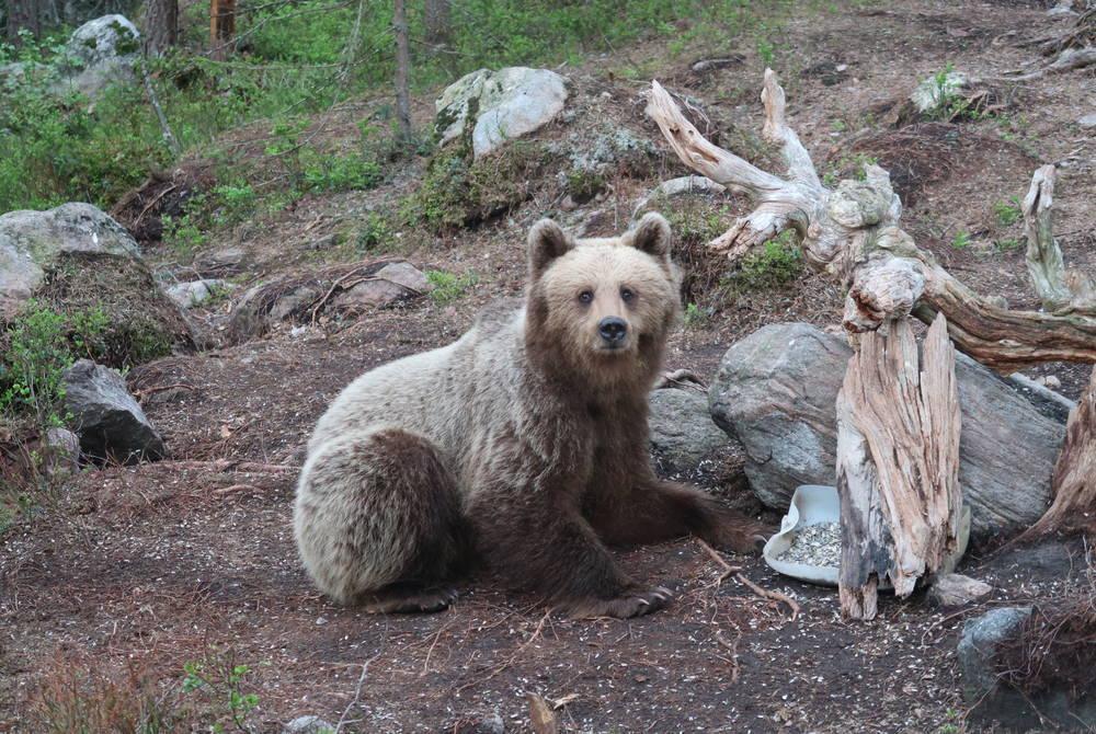 Bear watching, Gävleborg