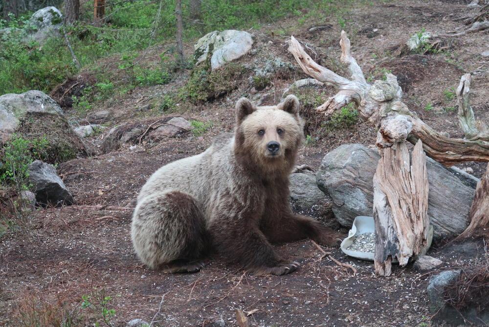 Bear watching in Gavelborg, Sweden