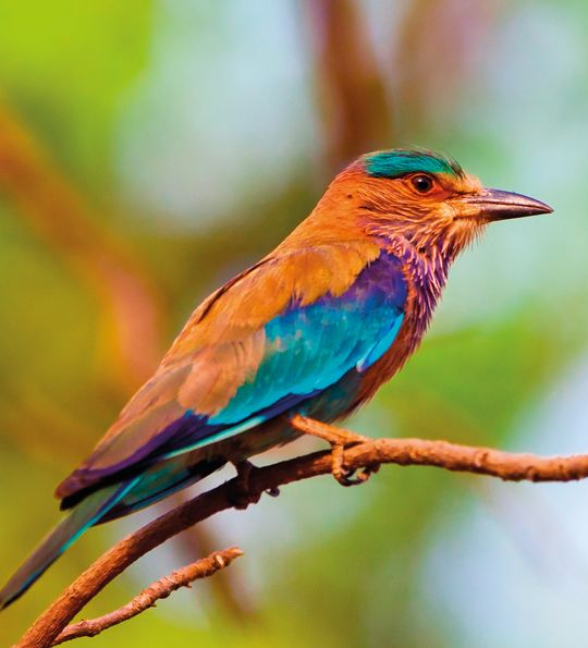 colourful Bird in the Bandhavgarh National Park, India