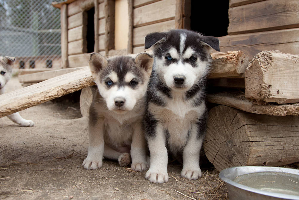 Huskies, Harriniva