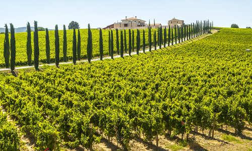 vineyard, Umbria, Italy
