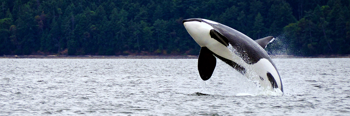 Killer whale, British Columbia