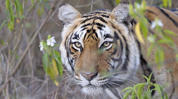 A tiger, Ranthambore National Park