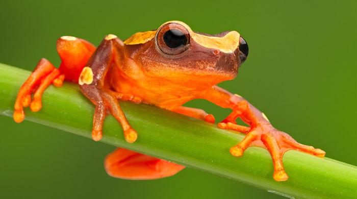 Red Tree Climbing Frog, Amazon Rainforest, Brazil