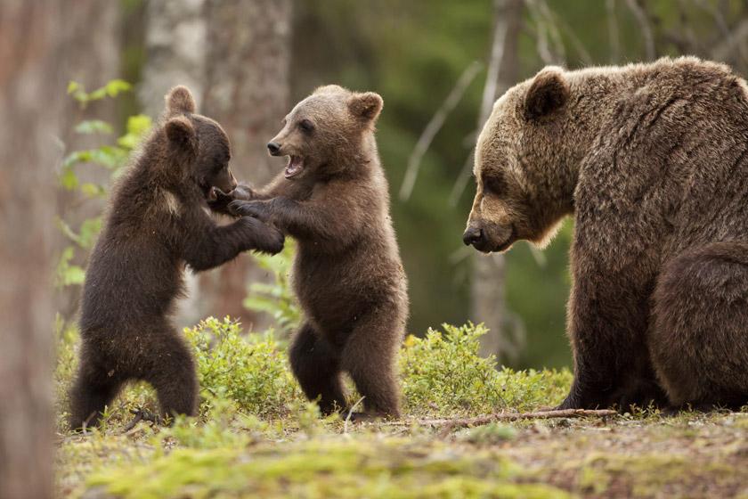 Bears Finland