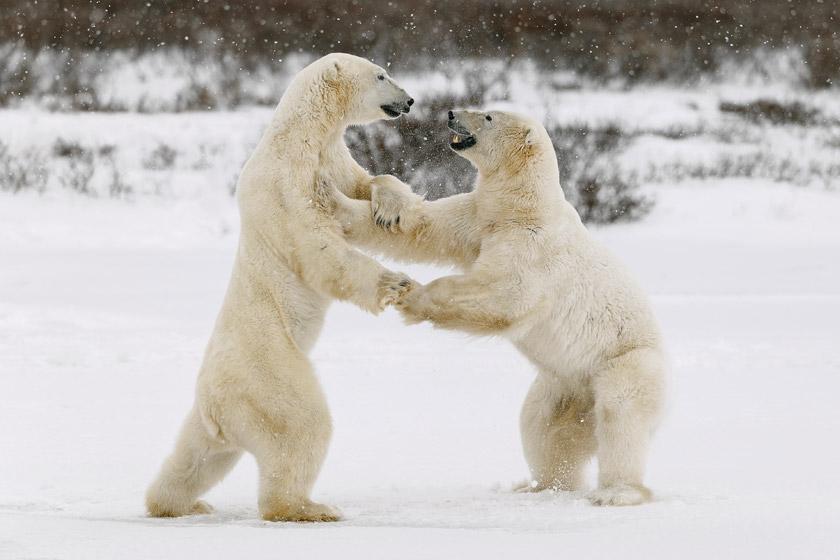 Polar bears Manitoba