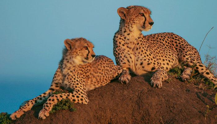 Cheetahs, Kenya