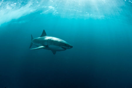 South Africa great white shark
