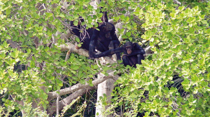 Chimps, Gambia River, Gambia