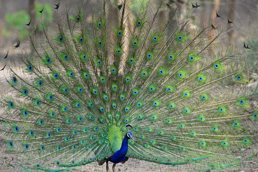Peacock, Ranthambhore National Park, india