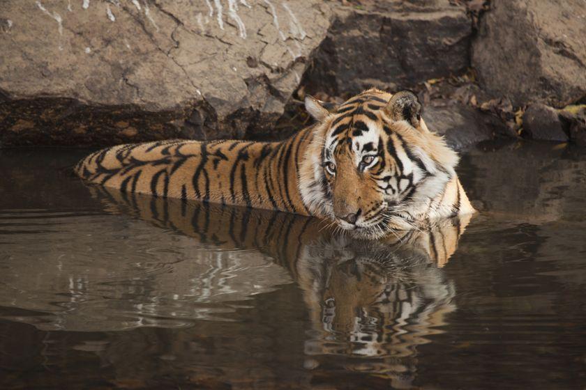 Tiger, Ranthambhore National Park, India