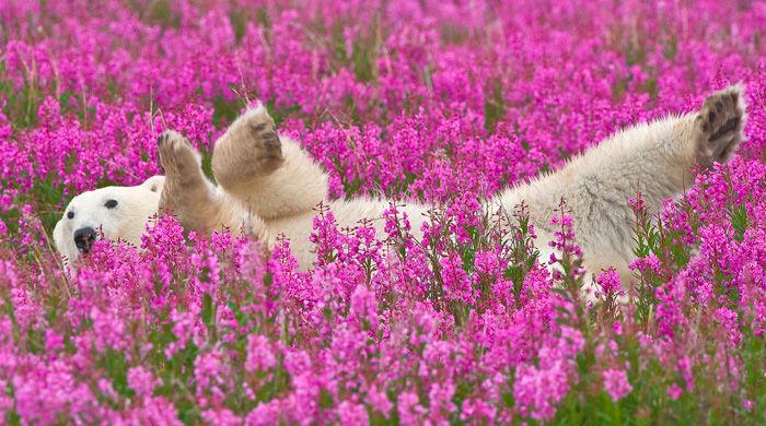 A polar bear enjoys the summertime in Manitoba