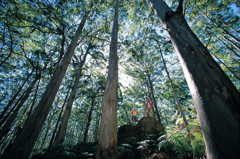 Karri trees in Western Australia
