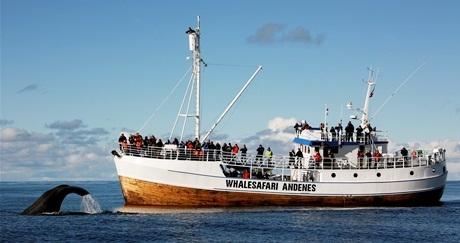 Whale watching with Hurtigruten