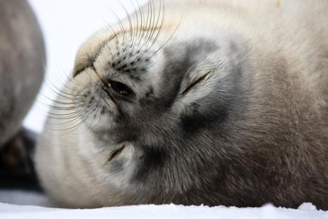 Seabourn Antarctica Cruise - Seal