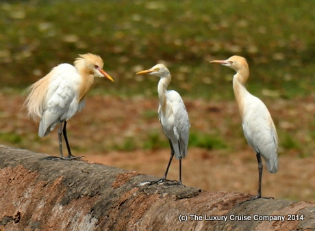 Golden Egrets