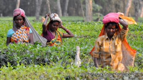 Tea Pluckers, Haroocharai tea estate