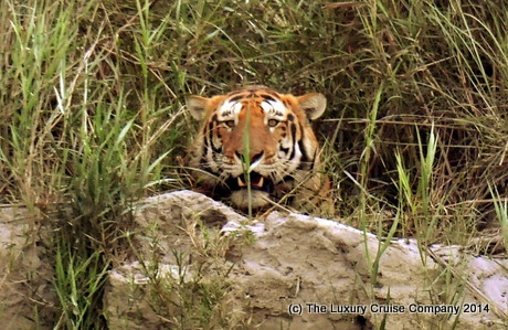 Bengal Tiger, Kaziranga National Park