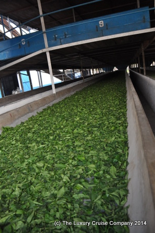 Tea drying