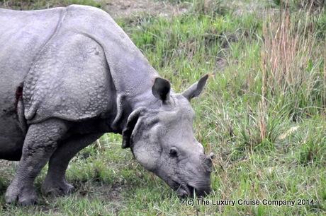 One Horned Rhinoceros, Kaziranga National Park