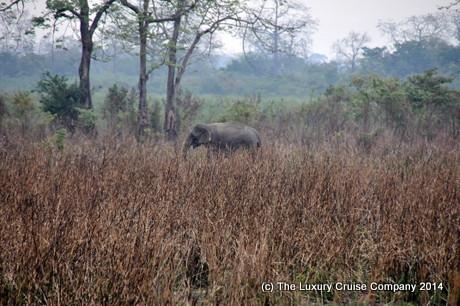 Wild Indian Elephant, Kaziranga National Park