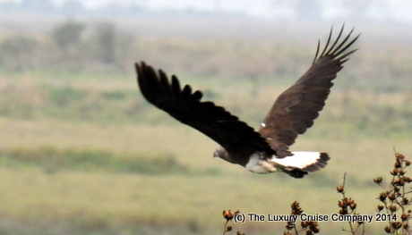 Fishing Eagle, Kaziranga National Park