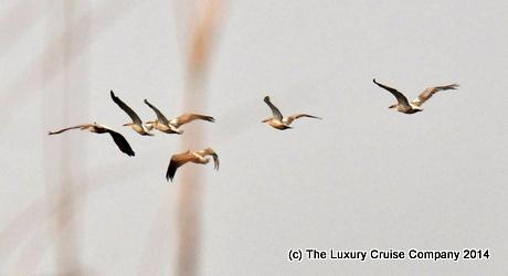 Pelicans, Kaziranga National Park