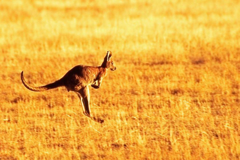Kangaroo at Wilpena Pound