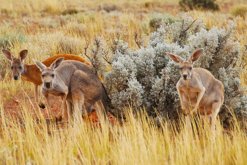 Kangaroos in the Gawler Ranges