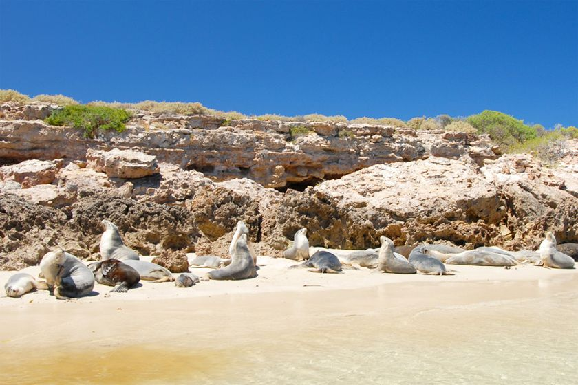 Sealions, Eyre Peninsula