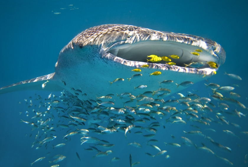 Whale shark, Ningaloo Reef, Australia